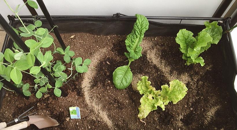 3週間ペースで収穫しています。